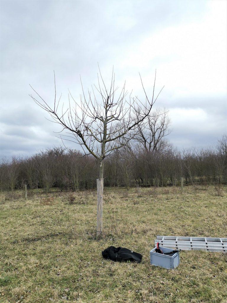 Apfelbaum vo dem Schnitt