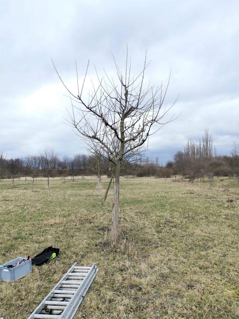 Bild des Apfelbaumes