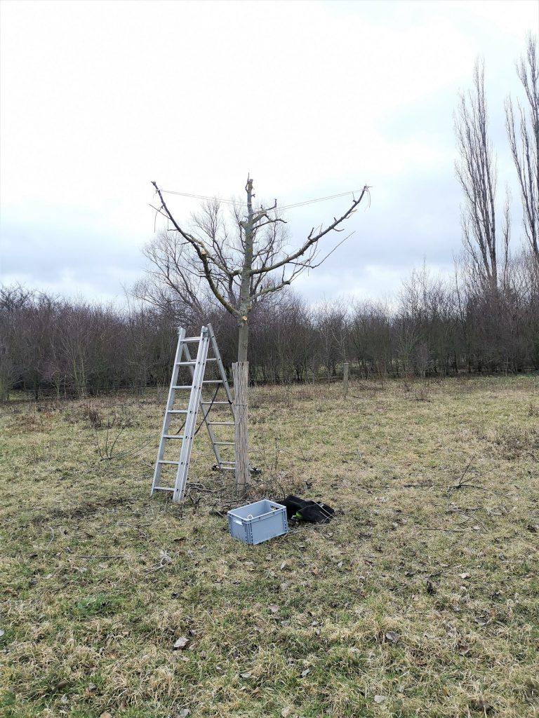 Erstes Bild des Apfelbaums nach dem Obstbaumschnitt